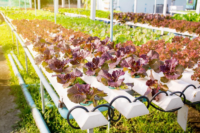 saláta üvegház termesztés
