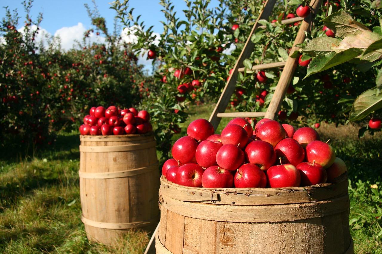 alma, hordó, gyümölcsös