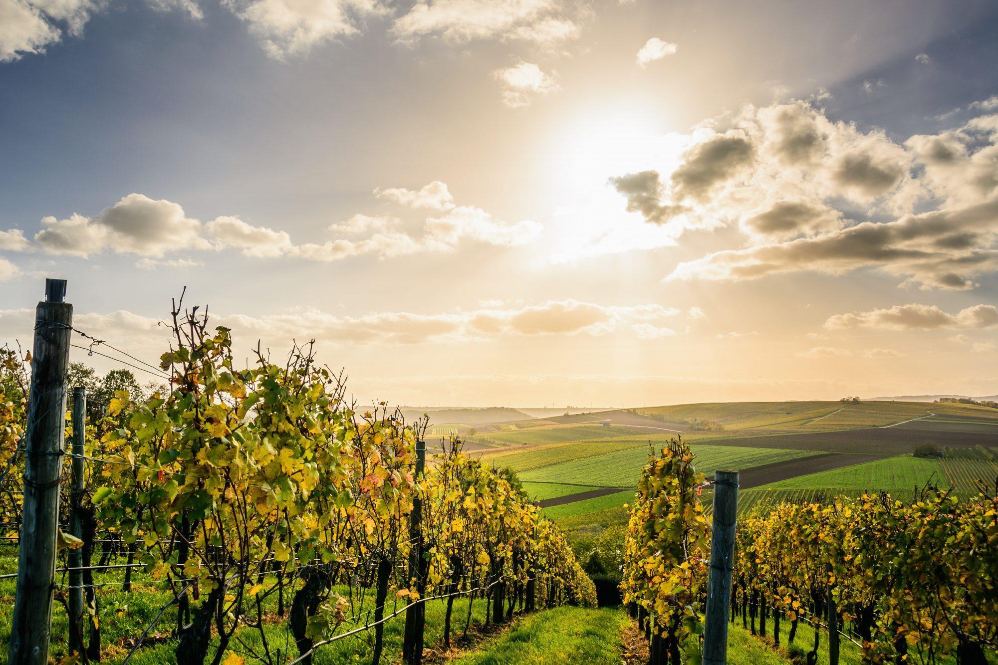 szőlő, szőlő ültetvény